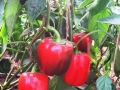 capsicum-cultivation-1-1
