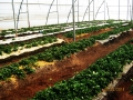 strawberry-cultivation-1