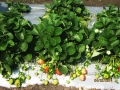 strawberry-cultivation-2