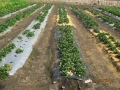 strawberry-cultivation-3