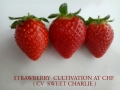 strawberry-cultivation-sweet-charlie