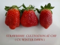 strawberry-cultivation-winter-dawn